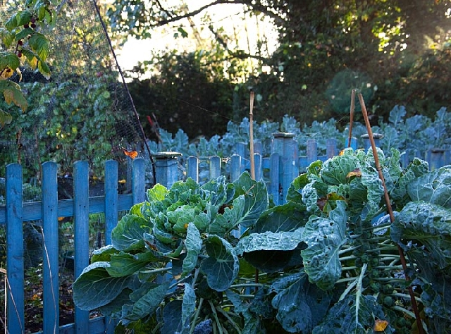 Winter vegetables in the garden